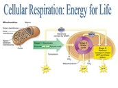 What is the main site of cellular respiration in the cell?