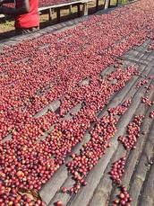 衣索比亞有機日曬西達摩G3斯科庫托農場(售價520/225G)