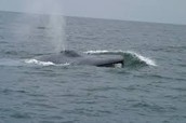 Blue Whale On the surface