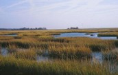 Where do Salt Marshes come from?