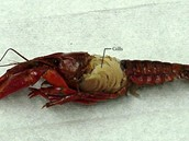 Crayfish gills