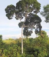Tualang Tree