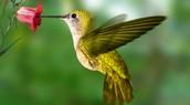 Hummingbird/Colibri