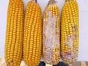 Bt corn if they're not sprayed