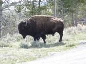 Buffalo meat