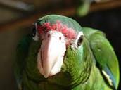 Puerito Ritcan Parrot