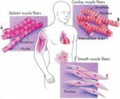 Muscular Cells