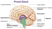 This gland is located in the epithalamus, where the two halves of the thalamus join together