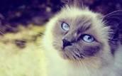 I want a rag doll cat