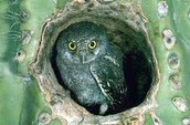 Elf Owl-Sophia