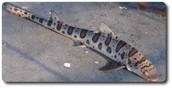 Leopard Shark in shallow water