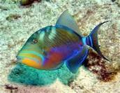Humuhumunnukunukuapua fish
