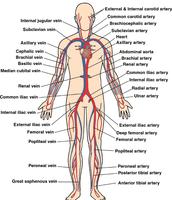 Circulatory System.