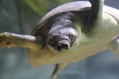 pig nosed turtle