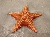 Starfish: Astersadea