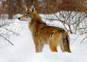 This is a red wolf