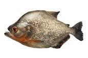 regler piranha