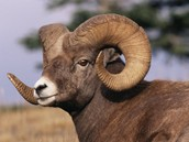 Bi-Horned Mountain Sheep With Horns