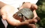 Giant tortoise of Aldabra