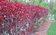 Purple Sand Cherry; Prunus x cistena