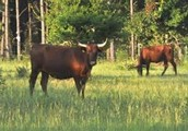 Cattle in the Piney Woods