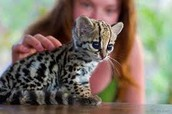 ocelots used to be pets