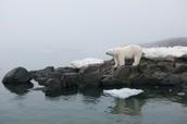 No More Ice For Polar Bears
