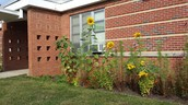Sunflowers courtesy of garden committee