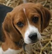Grown up Beagle