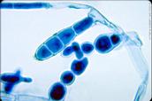 Dermatophytes  skin fungi