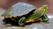 Turtle (red eared slider)