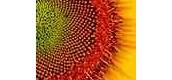 Seeds (Sunflower)