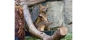 a baby fossa and it's mom
