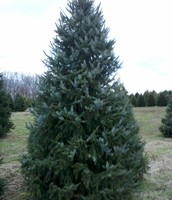Siberian Spruce