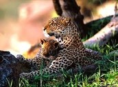 Jaguar And Her Baby