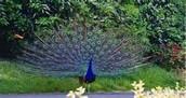 Indian green peacock