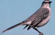 northin mokingbird