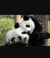A panda baby and mum