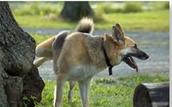 כלב מסמן טריטוריה על ידי הפרשת שתן