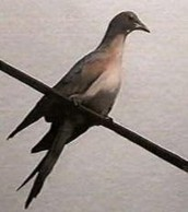 One of the passenger pigeons