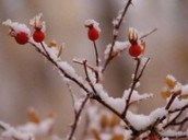 Roses in Winter by Writer Fox