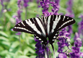 The Zebra Swallowtail Butterfly