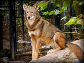 Captivity and the Red wolf