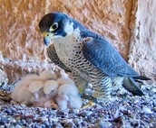 Peregrine falcons !