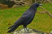 Adult Crow