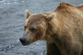Grizzly Bear Hump