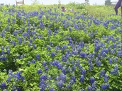 Breath of Fresh Air with the Bluebonnets