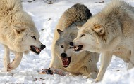 Wolves competing for food