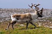 The woodland caribou