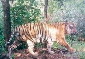 about a tiger